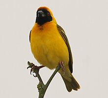 A masked weaver bird by jozi1