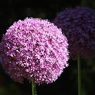 Allium by SusieG