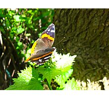 Red Admiral on shore leave Photographic Print