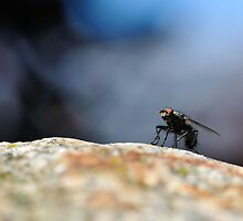 Close-up of a fly on a rock by pixelnest