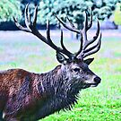 Stag at Bushy Park by Chris1249
