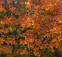 Autumn tones of a Japanese Maple by Marilyn Harris