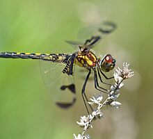 Gorgeous Female Calico Pennant. by William Brennan