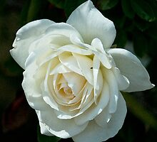Soft White Rose by Maria A. Barnowl