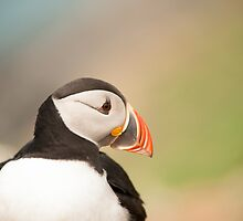 Puffin Profile by Anne Gilbert