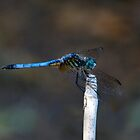 Blue Dasher Portrait #2. by chris kusik