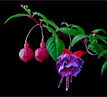 Fuchsia (New Millennium) by J-images