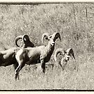 Bighorn Sheep Trio by Tracy Riddell
