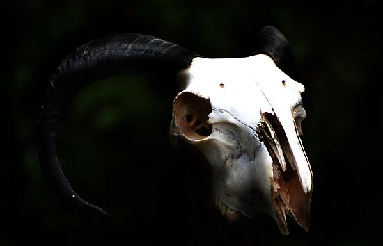 Ram Skull  by TheCroc1979