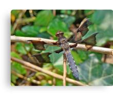 Common Whitetail Dragonfly - Plathemis lydia - Male Canvas Print