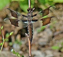 Common Whitetail Dragonfly - Plathemis lydia - Female by MotherNature