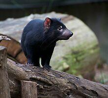 Tasmanian Devil by GP1746