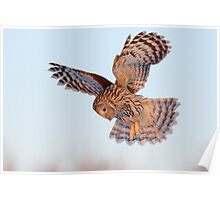 Ural Owl in flight Poster