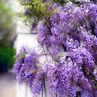 Wistful Wisteria by Jessica Jenney