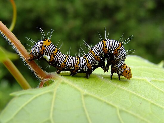 The Hungry Little Caterpillar  by Tracy Faught