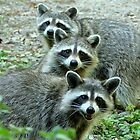 Three Raccoon by Jean Gregory  Evans