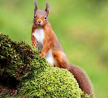 Red Squirrel by Photo Scotland