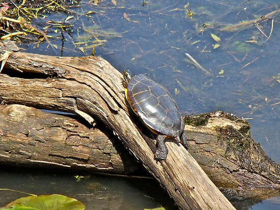 Grabbing a Bit of Sunshine - Painted Turtle by MotherNature