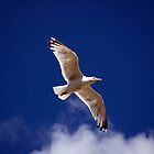 Gull by adrianpym