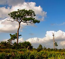 Sand Pine Portrait. Catfish Creek. Lake Wales Ridge. by chris kusik