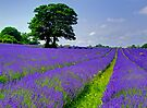 Mayfield Lavender Fields 2 by Colin J Williams Photography