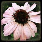 echinacea by debschmill