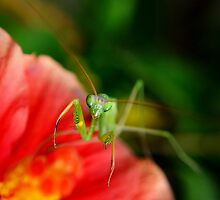 paying mantis on red flower by michelle meenawong