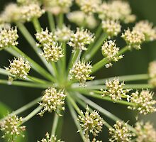 Elder flower  by GrAPE