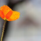 Poppy flower by christianee