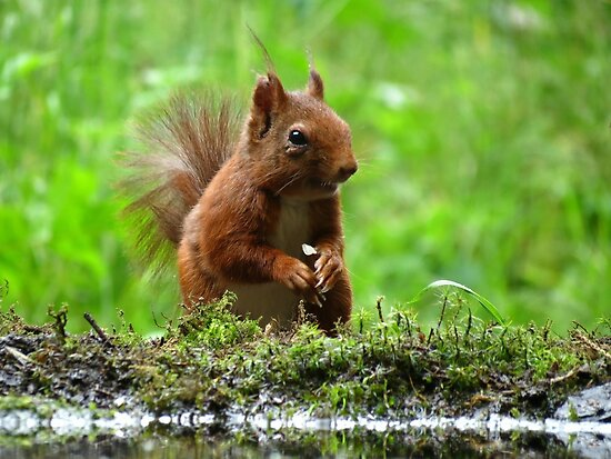Squirrel in the Netherlands by Peter Wiggerman