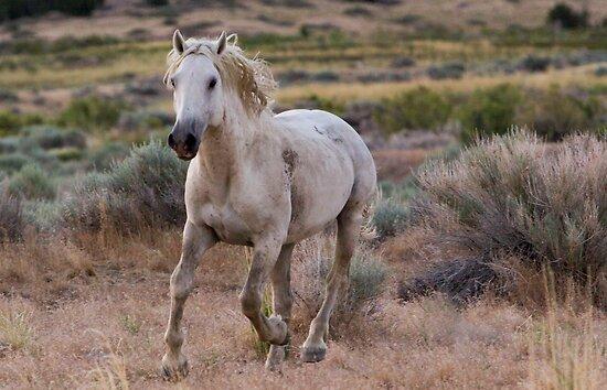 West Desert Mustang Running by Robbie Knight