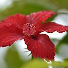 Hibiscus after the Rain by TheaShutterbug