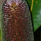 Beautiful Banksia by TheaShutterbug
