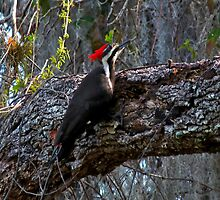 Pileated Woodpecker. Shingle Creek. by chris kusik