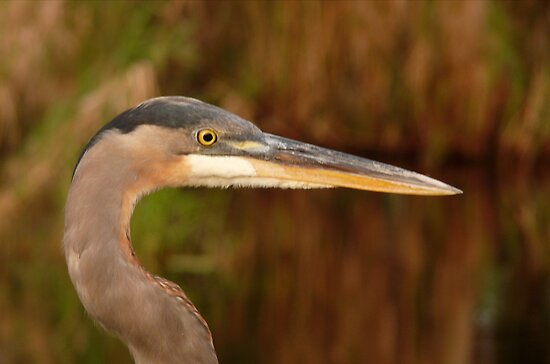 Great Blue Heron Portrait. Blue Cypress Lake. by chris kusik