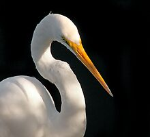 Great Egret Portrait #2. Merritt  Island N.W.R. by chris kusik