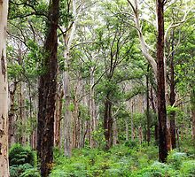Karri forest Western Australia by seeker19