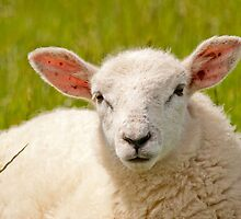 Swifter Lamb Portrait by Margaret S Sweeny