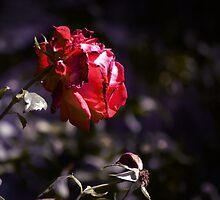 Mock Lomo Rose by fmschiele