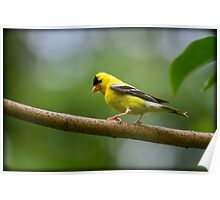 MALE GOLDFINCH Poster