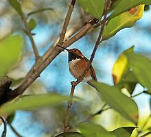 Rufous Hummingbird by Maria A. Barnowl