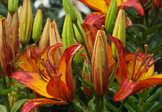 Lilies After Heavy Rain by LoneAngel
