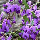 Holley-Leafed Hovea by Rick Playle