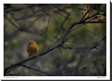 Yellow Warbler by Richard Bean