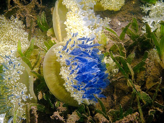 Mangrove Jelly Fish by globeboater