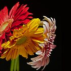 colorful gerbera by wildrain