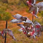 Flaming Galahs by Dean Cunningham