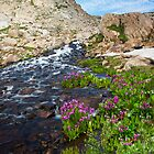 Summer Flowers - Indian Peaks Wilderness by Teresa Smith