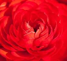 Rosy Red by Sheaney