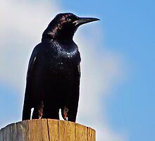 Grackle - - Cards by Maria A. Barnowl